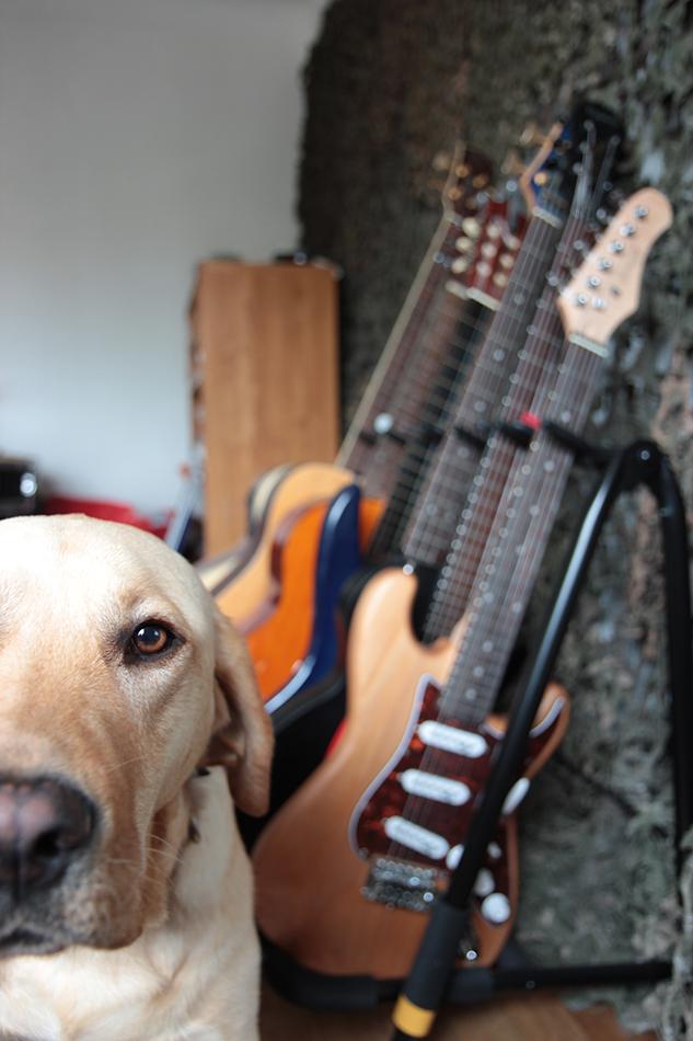 Photo d'une chienne avec un rack de guitares électrique au second plan.